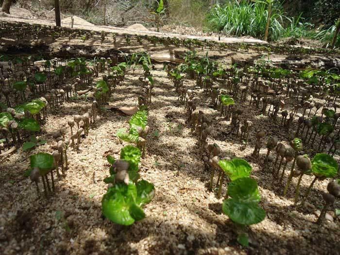 پرورش دادن گیاه قهوه - بوته قهوه