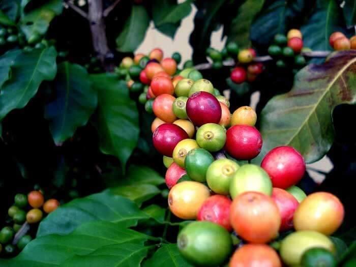 میوه های قهوه روی درخت قهوه