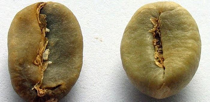 تفاوت در ظاهر دانه های قهوه