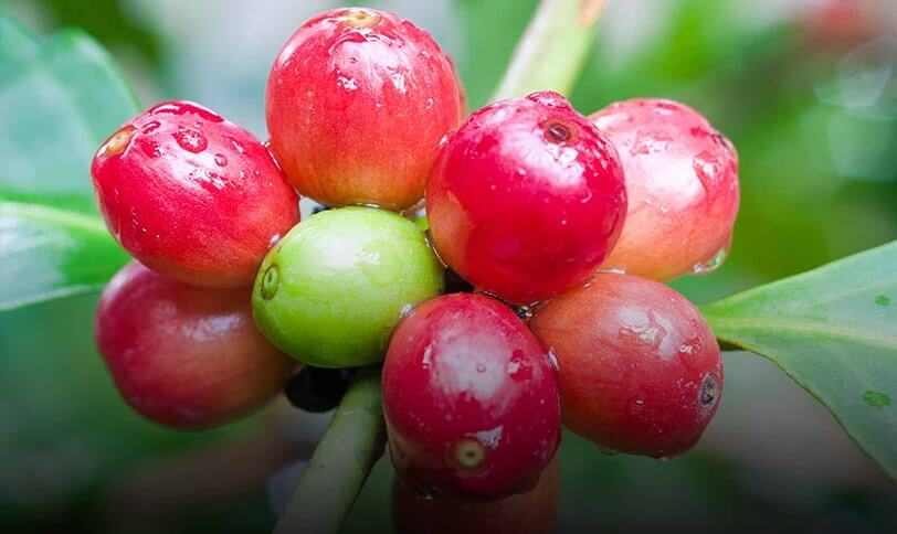 coffee fruit or coffee berry