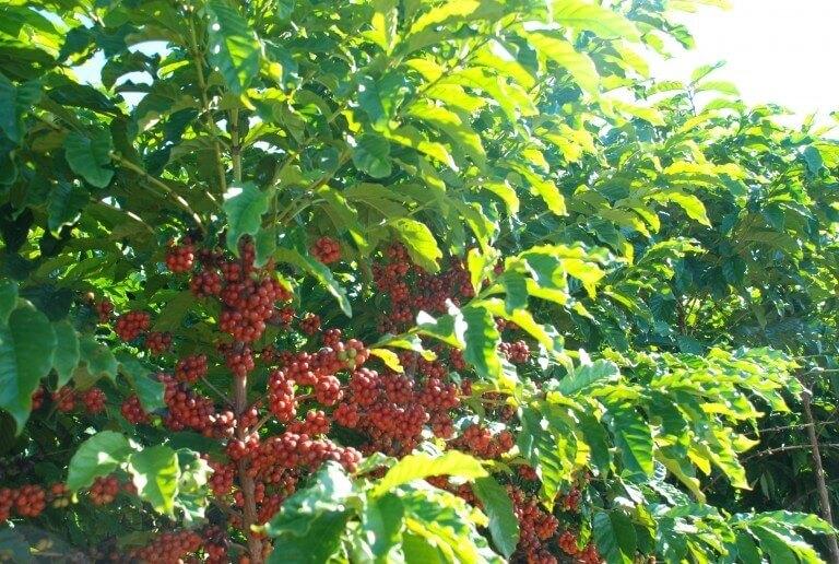 گیاه قهوه ربوستای برزیل