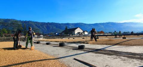 مزارع قهوه جاوا اندونزی