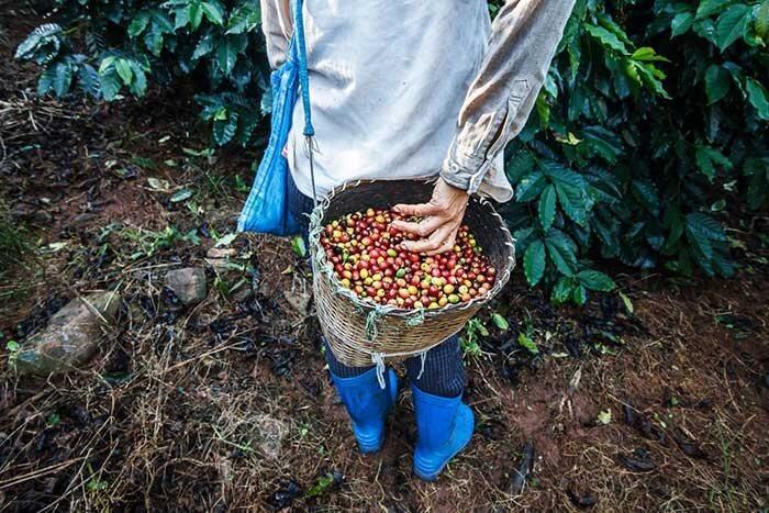 کشاورز قهوه