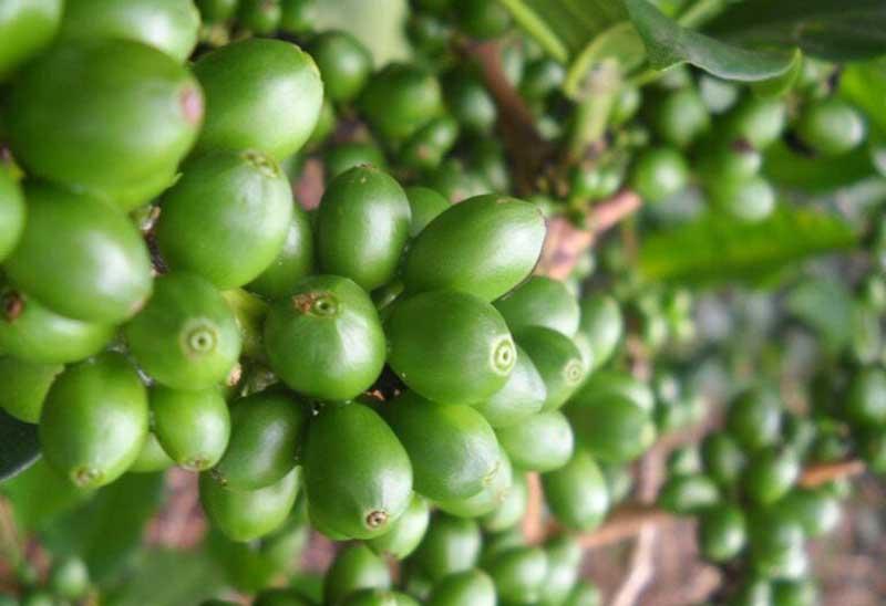 دانه های سینگل اورجین بر روی درخت